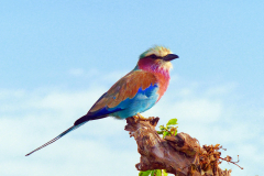 lilac-breasted-roller-818021
